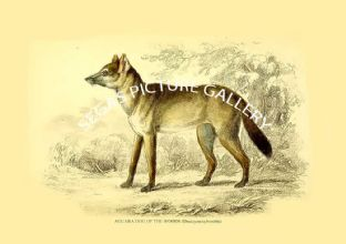 AGUARA DOG OF THE WOODS (Dusicyon sylvestris)